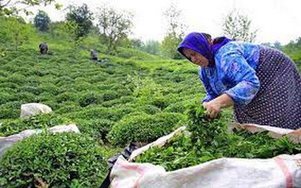 خرید حمایتی برنج نباید به کشاورز آسیب بزند، ابلاغ دستور لغو ممنوعیت صادرات چای داخلی
