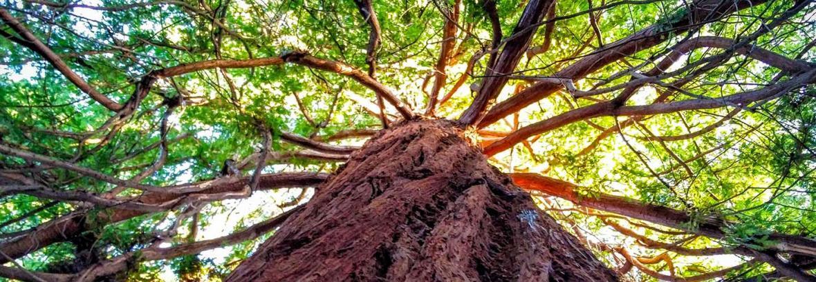 طلای سبز کالیفرنیا را ببینید ، تصویر قدیمی و جدید تونل درخت غول