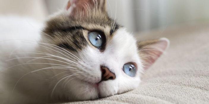 گربه ها ممکن است میزبان بی علامت کرونا باشند