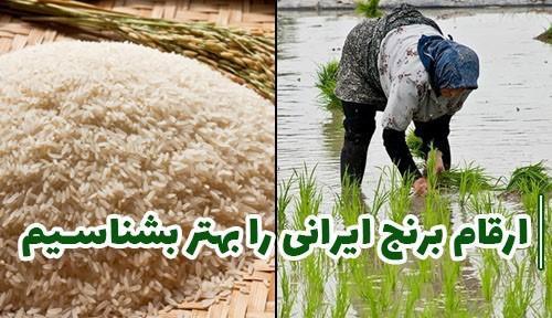 آشنایی با ارقام برنج ایرانی