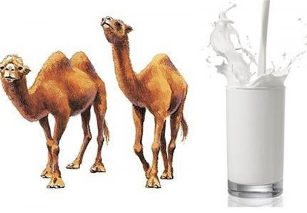 خواص معجزه آسای شیر شتر؛ از سم زدایی بدن تا رفع کم خونی!
