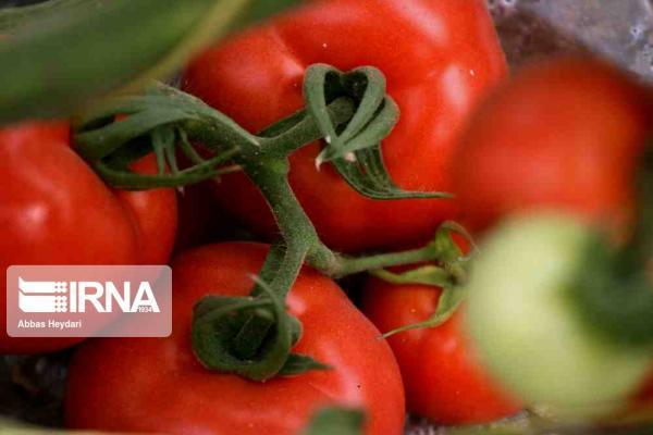 خبرنگاران صادرات گوجه فرنگی کشاورزان بوشهری تا اطلاع ثانوی بلامانع اعلام شد